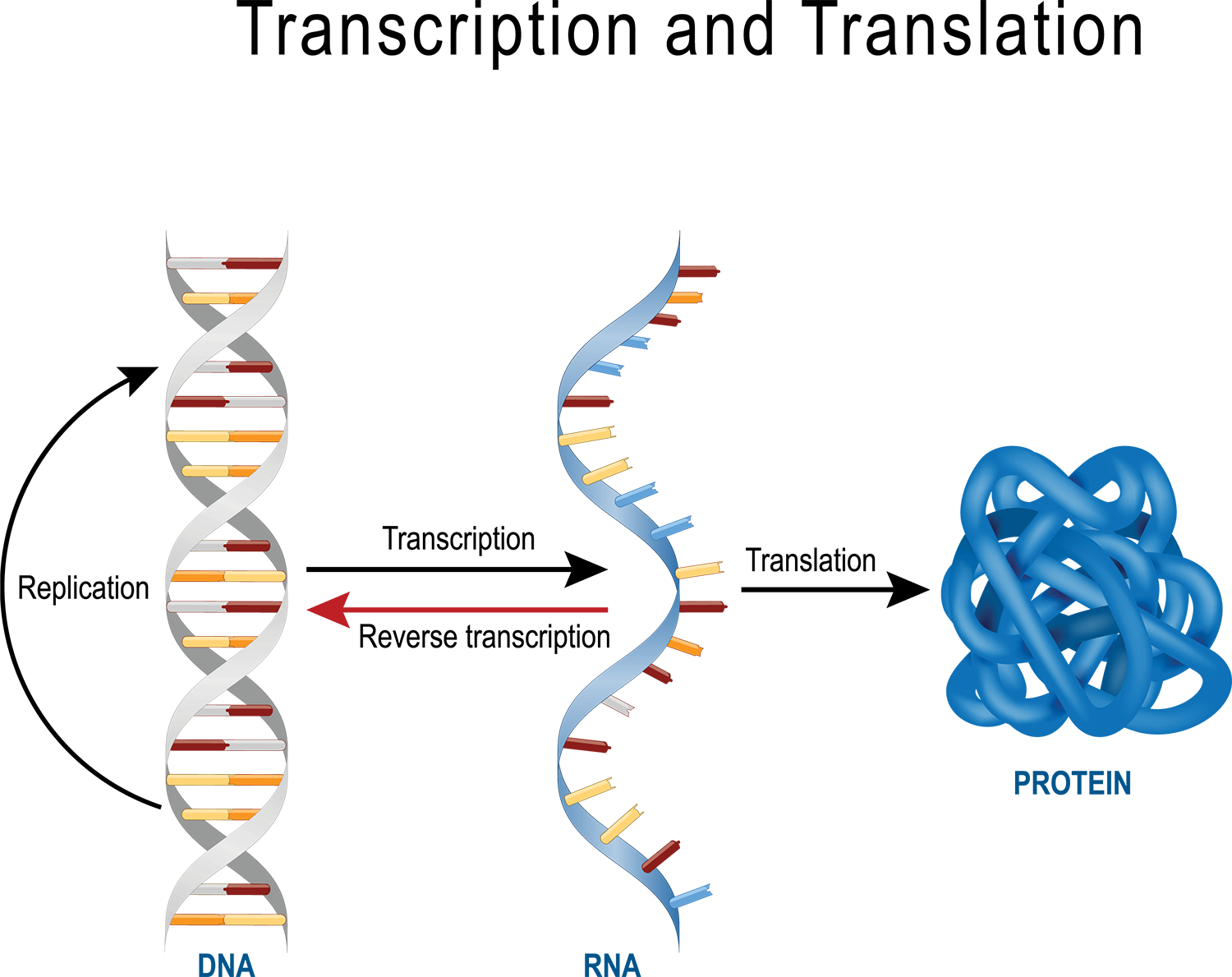 Image of DNA transcription to RNA and then to translation to protein